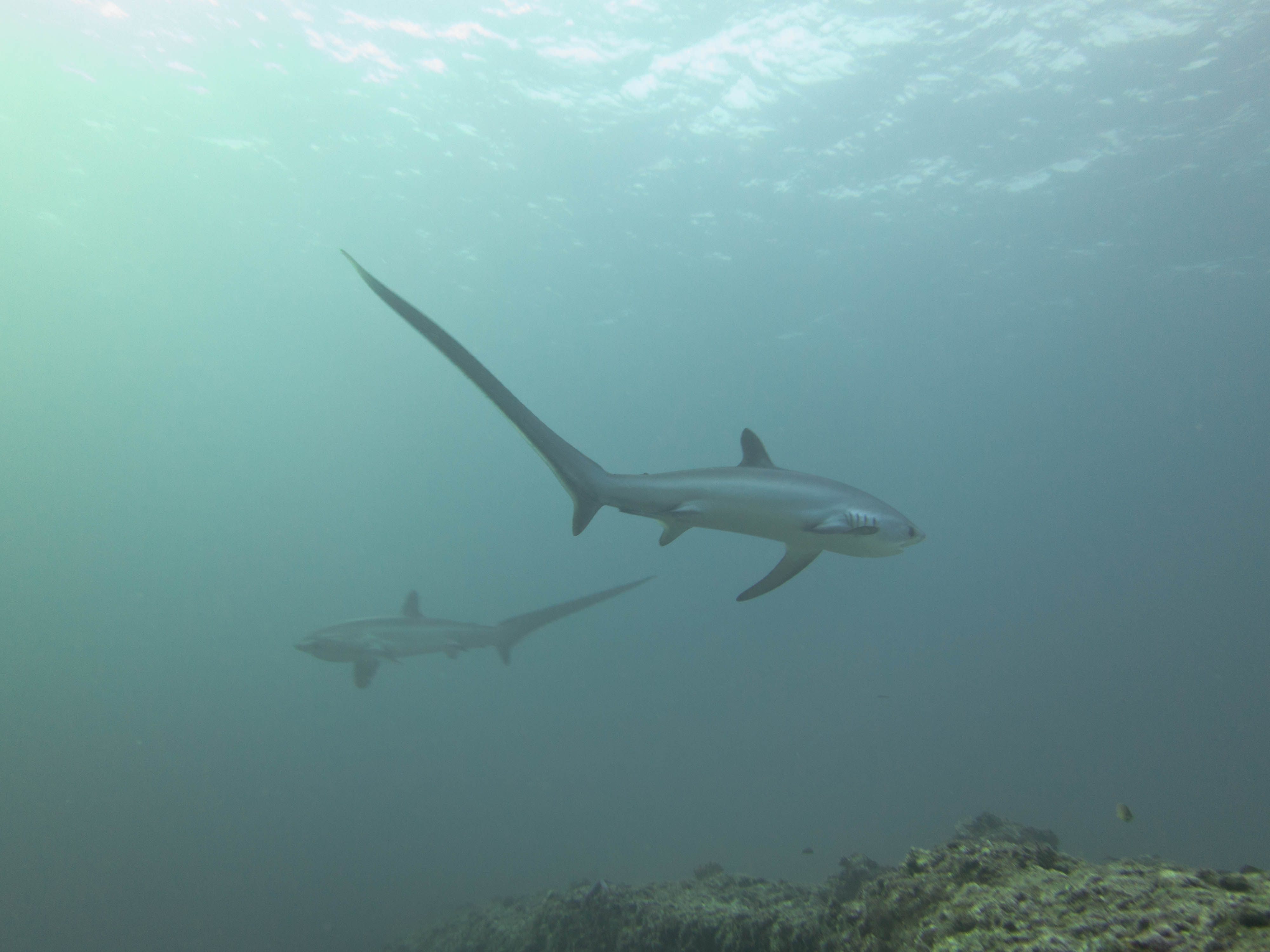 Two Sharks (1 of 1)