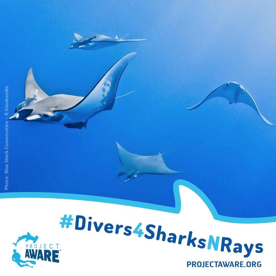 InstagramDivers4SharkNRays_ Blue Shark Conservation – K.Vandevelde3
